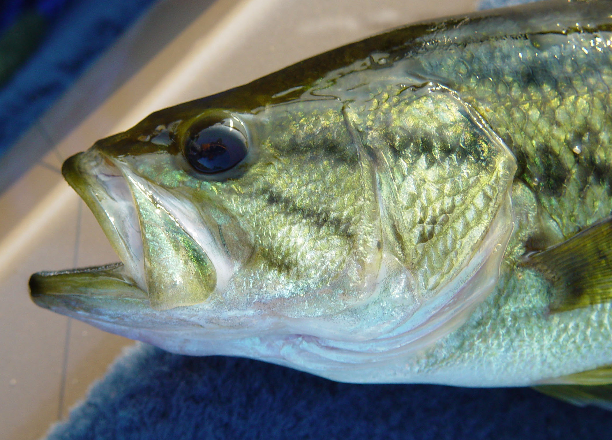 Largemouth Bass - Printed Reference Photos Volume
